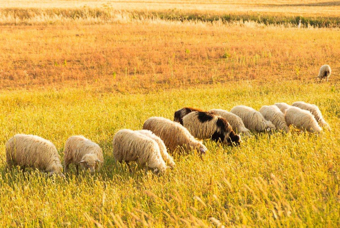 Pecore da lana al pascolo, Italia - Antropocene