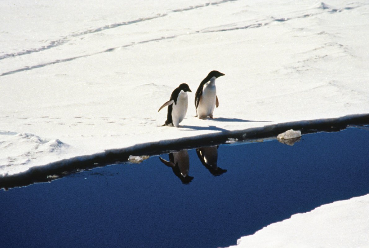 Pinguini Adelie sul pack, Antartide – 1987, Antropocene – Silvio Greco