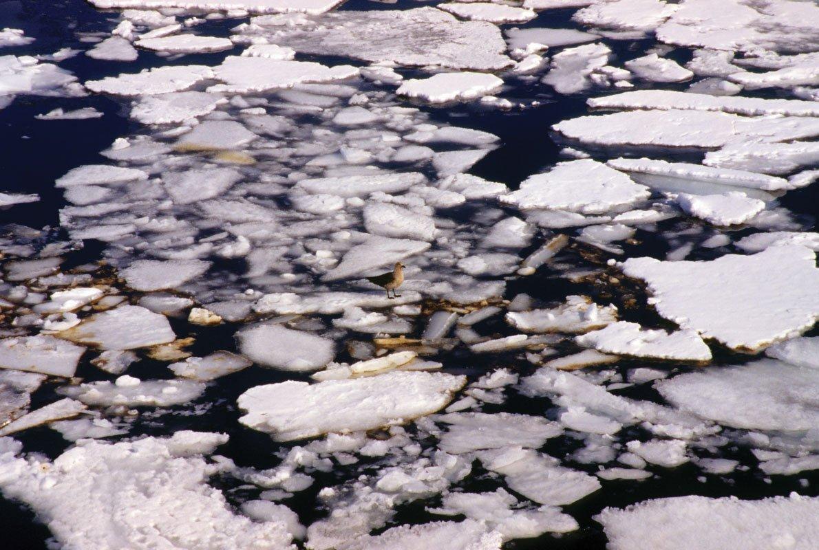 Alghe sotto il pack, Mare di Ross – 1999, Antropocene – Silvio Greco